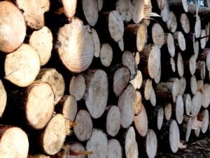 Drewno w lesie